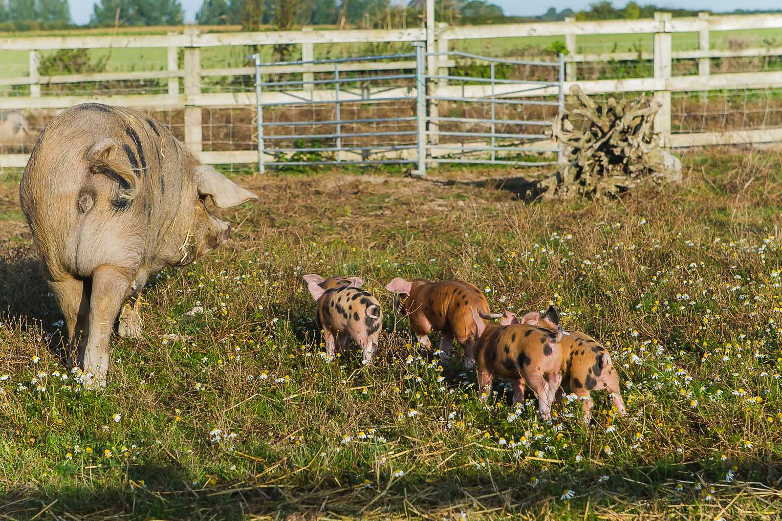A Pig with her littler of piglets
