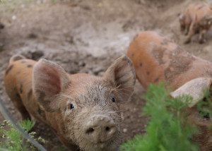 Piglet on new barn farm dorset