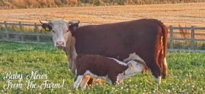 Calf and mother Hereford Cow
