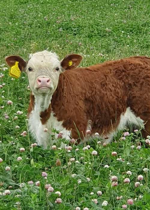 Calf in field