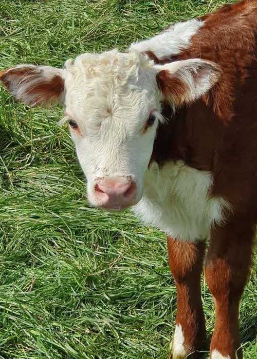 Clover the calf
