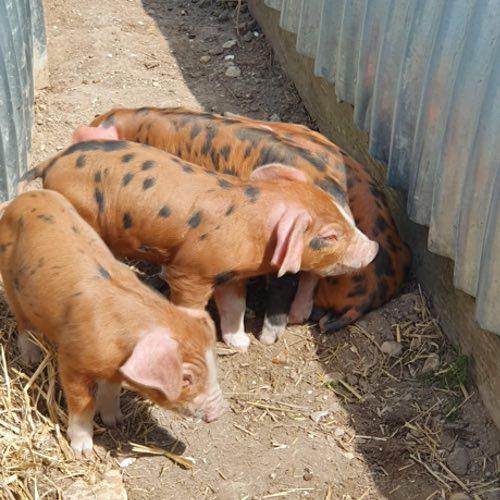 piglets on Newbarn farm in Dorset